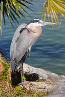 Great Blue Heron by the Lake