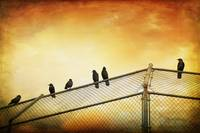 CROWS ON THE BACKSTOP