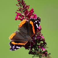 Red Admiral Butterfly Square 2015