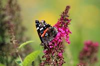 Red Admiral Butterfly in Summer Garden 2015
