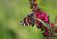 Red Admiral Butterfly Upside Down in Garden 2015