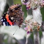 """Red Admiral Butterfly on Lambs Ear Plant 2015"" by KsWorldArt"