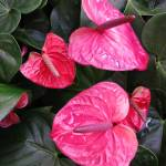 """Anthuriums"" by joeyartist"