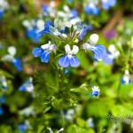 """BLUE-EYED MARY"" by tricia"