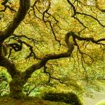 """Japanese Maple Tree 2"" by cyorkphoto"