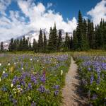 """Wild Flower Path to Mt Rainier"" by cyorkphoto"