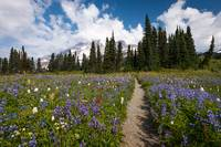 Wild Flower Path to Mt Rainier