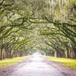 """Oak Trees Cloaked in Spanish Moss"" by cyorkphoto"