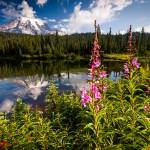 """Wild Flowers and Mt Rainier Horizontal"" by cyorkphoto"
