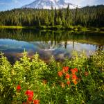 """Wild Flowers and Mt Rainier"" by cyorkphoto"