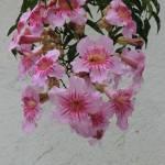 """""""Pink Flowers Blooming"""" by rhamm"""