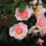 """""""Pink Roses Blooming"""" by rhamm"""