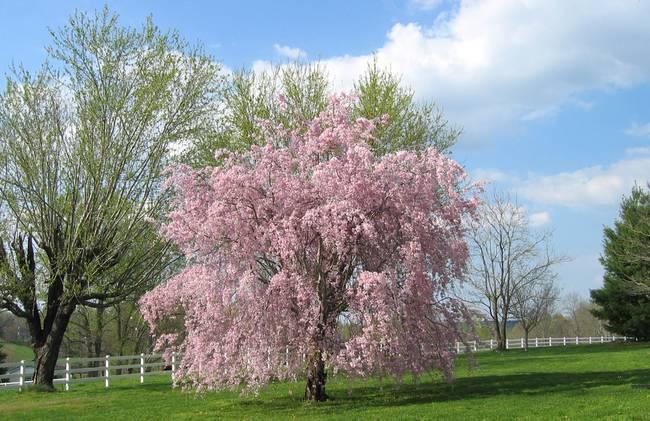 Stunning cherry trees artwork for sale on fine art prints for Cherry trees for sale