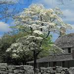 """Flowering Dogwood at Cravens House"" by tricia"