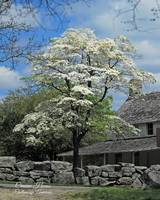 Flowering Dogwood at Cravens House