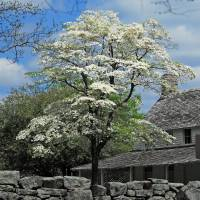 Flowering Dogwood at Cravens House Art Prints & Posters by Patricia Ferguson