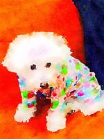 Bichon in Pajamas