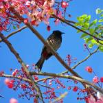 """Red-vented Bulbul on a Shower Tree"" by joeyartist"