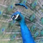 """Peacock Closeup"" by Groecar"
