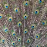 """""""Peacock Feathers"""" by Groecar"""