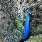 """""""Peacock Fan"""" by Groecar"""