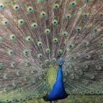 """""""Proud Peacock"""" by Groecar"""