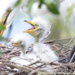 """Fun Baby Egrets with Mom"" by Groecar"