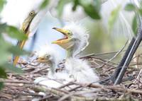 Fun Baby Egrets with Mom