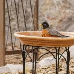 """American Robin Finishing His Bath"" by awsheffield"
