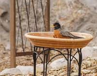 American Robin Finishing His Bath