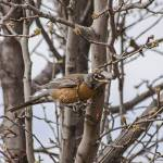 """American Robin in Bradford Pear Tree"" by awsheffield"