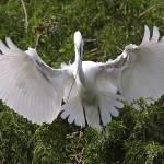 """Great Egret Nest Builder b"" by Groecar"