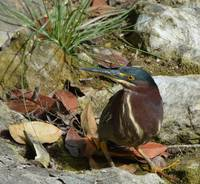 Mexican Green Heron