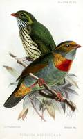 Red-banded fruiteater Pipreola whitelyi illustrate