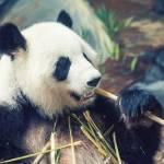 """Dining Panda"" by karolsstuff"