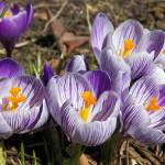 """Spring Crocus Flowers"" by vpicks"