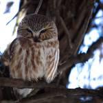 """The Little Owl"" by RHMiller"