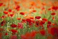 Red Poppy Dream