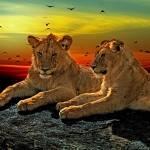 """Lions At Sunset"" by ImageMonkey"