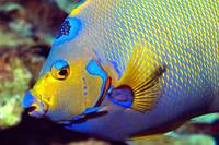 Queen Angelfish Mouth