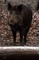 Little boar