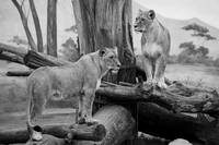 Waiting lions BW