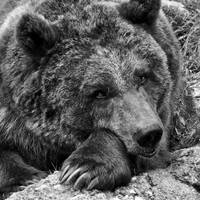 Grizzly bear BW