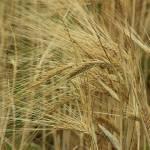 """Grain on a Field"" by rhamm"