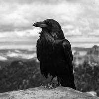 The raven BW