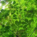 """Tree Leaves"" by KsWorldArt"