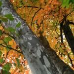 """""""Sycamore Tree in October"""" by KsWorldArt"""