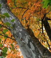 Sycamore Tree in October