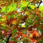 """""""Oak Leaves"""" by KsWorldArt"""