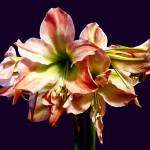 """A Lovely Pink and White Amaryllis"" by susansartgallery"